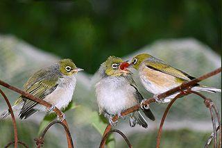 White-eye Family of birds