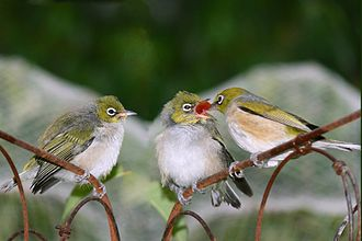 White-eye - Silvereye (Zosterops lateralis), adult (right) and juveniles