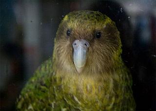 Sirocco (parrot) individual kākāpō (New Zealand flightless parrot)
