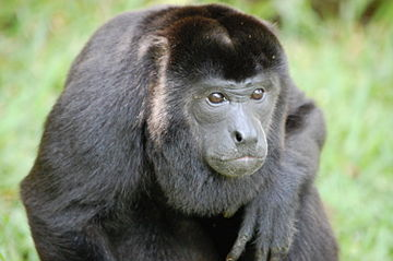 Mantled howler Sitting Alouatta palliata, Costa Rica.JPG