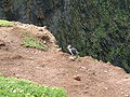 Skomer-WickPuffin.jpg
