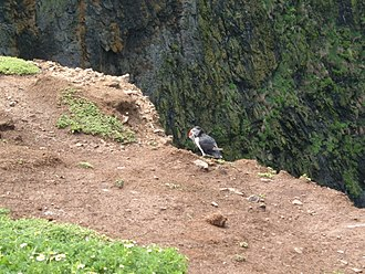 Skomer - Puffin at the Wick with food