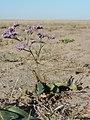 Slatinski cvet - Limonium gmelinii - habitus.jpg