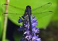 Slaty Skimmer on flower.jpg