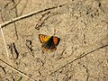 Small Copper Butterfly (Lycaena phlaeas) - geograph.org.uk - 995053.jpg