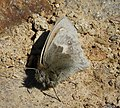 Small Heath, fresh and furry. (Coenonympha pamphilus) (27446225139).jpg