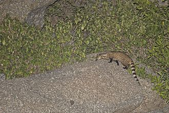 Small Indian civet - The small Indian civet is a nocturnal hunter.