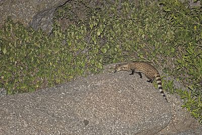 Small Indian Civet.jpg