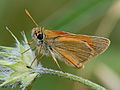 Small Skipper (Thymelicus sylvestris) (14301241527).jpg