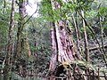 Smangus Giant Trees 司馬庫斯巨木群 - panoramio (1).jpg