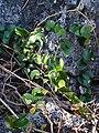 Smilax australis with flowers.jpg
