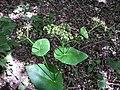 Smyrnium perfoliatum sl14.jpg