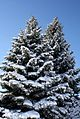Snow-Covered Michigan Blue Spruces.jpg