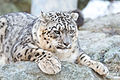 Snow Leopard Stretched on Rocks (17073104505).jpg