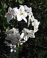 Solanum laxum (1).jpg