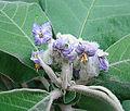 Solanum mauritianum (8692074378).jpg