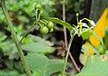 Solanum nigrum 24.JPG