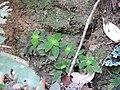 Sonerila pedunculata-2-chemungi-kerala-India.jpg