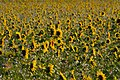Sonnenblumen6.jpg