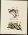 Sorex vulgaris - 1700-1880 - Print - Iconographia Zoologica - Special Collections University of Amsterdam - UBA01 IZ20900135.tif