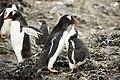 SouthShetland-2016-Livingston Island (Hannah Point)–Gentoo penguin (Pygoscelis papua) 04.jpg