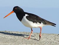 South Island pied oystercatcher 2c.JPG