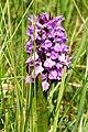 Southern Marsh orchid at Rimac - geograph.org.uk - 1016853.jpg