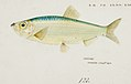 Southern Pacific fishes illustrations by F.E. Clarke 55.jpg