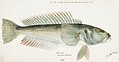 Southern Pacific fishes illustrations by F.E. Clarke 60.jpg