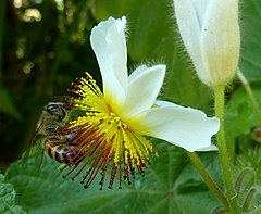 240px sparrmannia africana, by op blom, jan celliers park