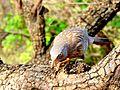 Sparrow Ranthambore.jpg