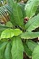 Spathiphyllum cochlearispathum kz01.jpg