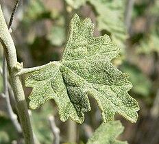 Sphaeralcea ambigua 6.jpg