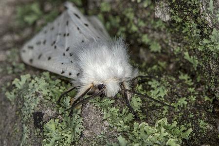 Spilosoma lubricipeda, Lodz(Poland)04(js).jpg