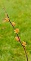Spiraea japonica 'Goldflame' 04.jpg