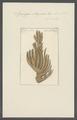 Spongia stuposa - - Print - Iconographia Zoologica - Special Collections University of Amsterdam - UBAINV0274 112 02 0016.tif
