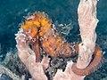 Spotted seahorse (Hippocampus kuda) (40554459970).jpg