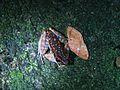 Spotted stream frog? (Hylarana picturata)? (8194952913).jpg