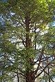 Spreading Canopy (8484176924).jpg