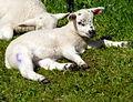Spring Lambs sunbathing (6919189260).jpg
