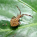 Squash bug juvenile. Late instar nymph. ( Coreus marginatus) - Flickr - gailhampshire (1).jpg