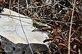 Sténobothre bourdonneur (Stenobothrus nigromaculatus nigromaculatus).2.jpg