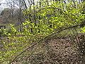 Stachyurus praecox2.jpg