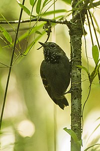 Star-throated Antwren - Intervales NP - Brazil S4E9864 (12925617695).jpg