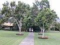 Starr-010420-0120-Pimenta dioica-habit-plantations Waikapu-Maui (24164577929).jpg