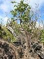 Starr-051029-8355-Charpentiera obovata-habit-Auwahi-Maui (24481377059).jpg