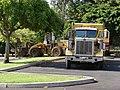 Starr-080512-4445-Cordia subcordata-habit with debris pickup-Kanaha Beach-Maui (24282223164).jpg