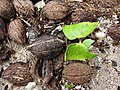 Starr-080607-7240-Terminalia catappa-seedlings-Medical clinic Sand Island-Midway Atoll (24822441471).jpg