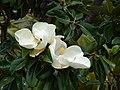 Starr-090421-6304-Magnolia grandiflora-flowers-Pukalani-Maui (24325594063).jpg
