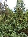Starr-090601-8699-Montanoa hibiscifolia-habit-Ulupalakua-Maui (24842975752).jpg